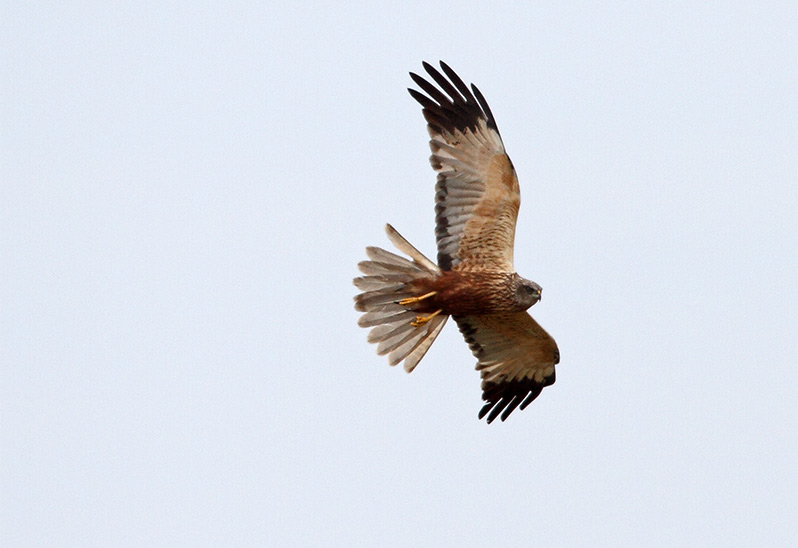 Brun kärrhök (Marsh Harrier), Risinge, Öland