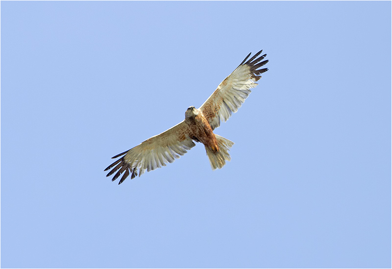 Brun kärrhök (Marsh Harrier), Falsterbo Kanal, Skåne