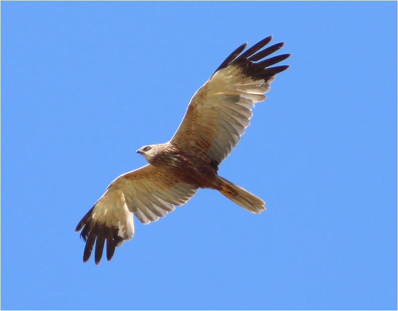 Brun kärrhök (Marsh Harrier), Morups Tånge, Halland