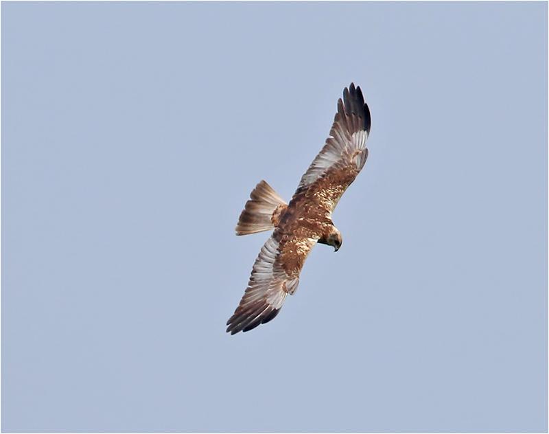 Brun kärrhök (Marsh Harrier), Ottenby, Öland