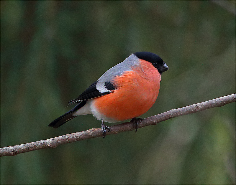Domherre (Bullfinch), Mossbodarna, Borlänge