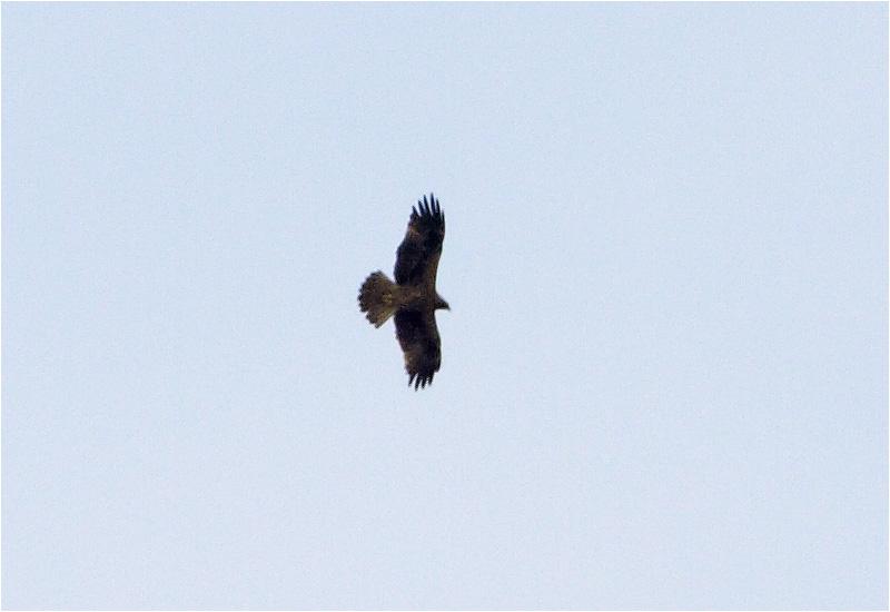 Dvärgörn (Booted Eagle), Hjälstaviken, Uppland