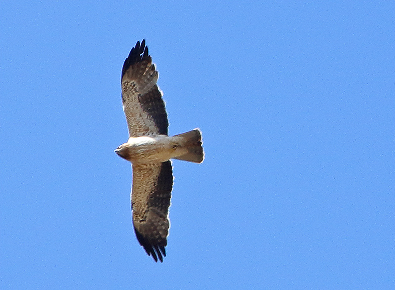 Dvärgörn (Booted Eagle), Puerto Pollenca, Mallorca, Spanien