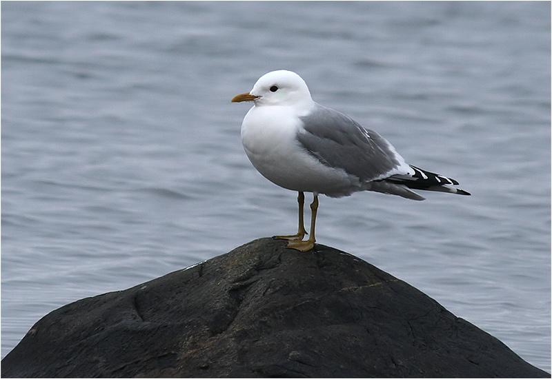 Fiskmås (Common Gull), Stora Amundö, söder om Göteborg
