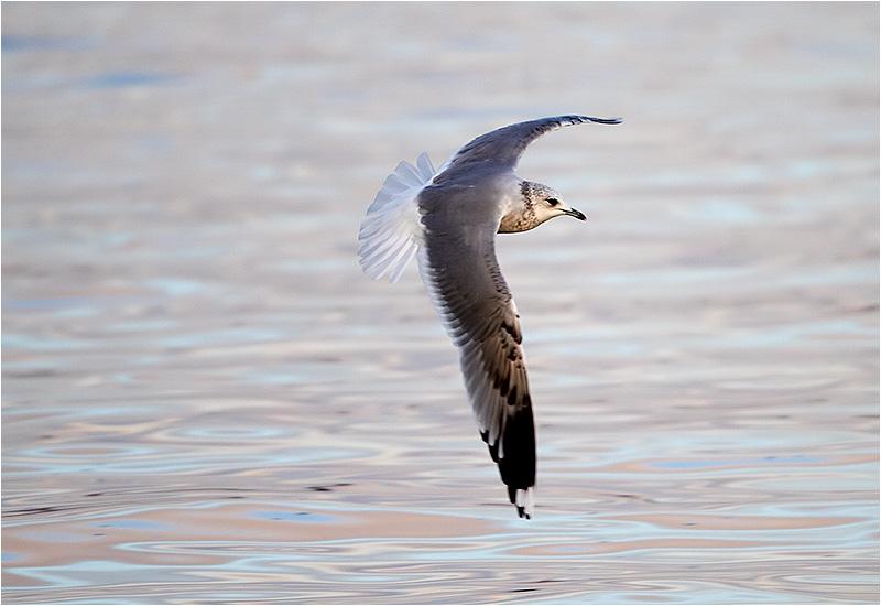 Fiskmås (Common Gull), Björnhuvudet, Öckerö