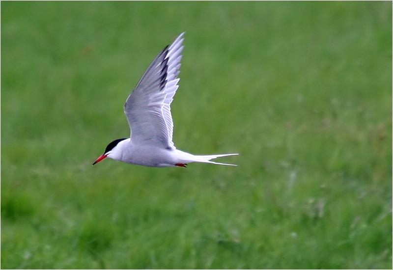 Fisktärna (Common Tern), Stora Amundön, söder om Göteborg