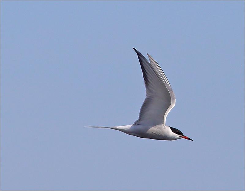 Fisktärna (Common Tern), Glommens Sten, Halland