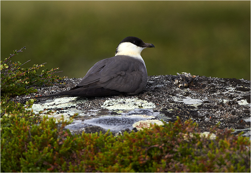 Fjällabb (Long-tailed Skua), Flatruet, Härjedalen
