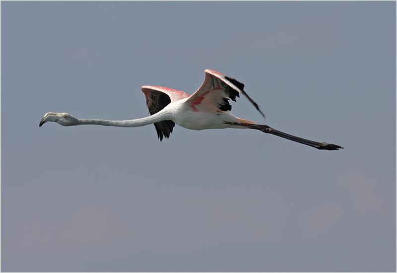 Flamingo, Petra, Lesbos, Grekland