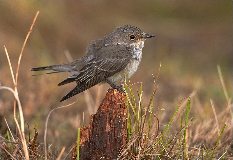 Grå flugsnappare (Spotted Flycatcher), Vallda Sandö, Kungsbacka