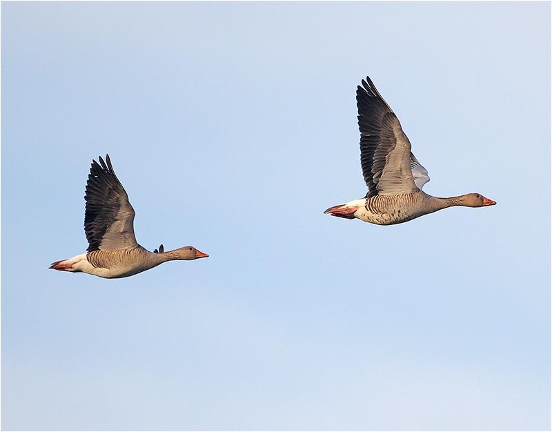 Grågås (Greylag Goose), Stora Amundö, söder om Göteborg