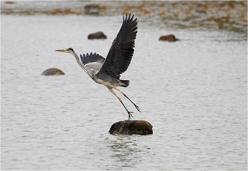 Gråhäger (Grey Heron), Norra Strandängen, Stora Amundö