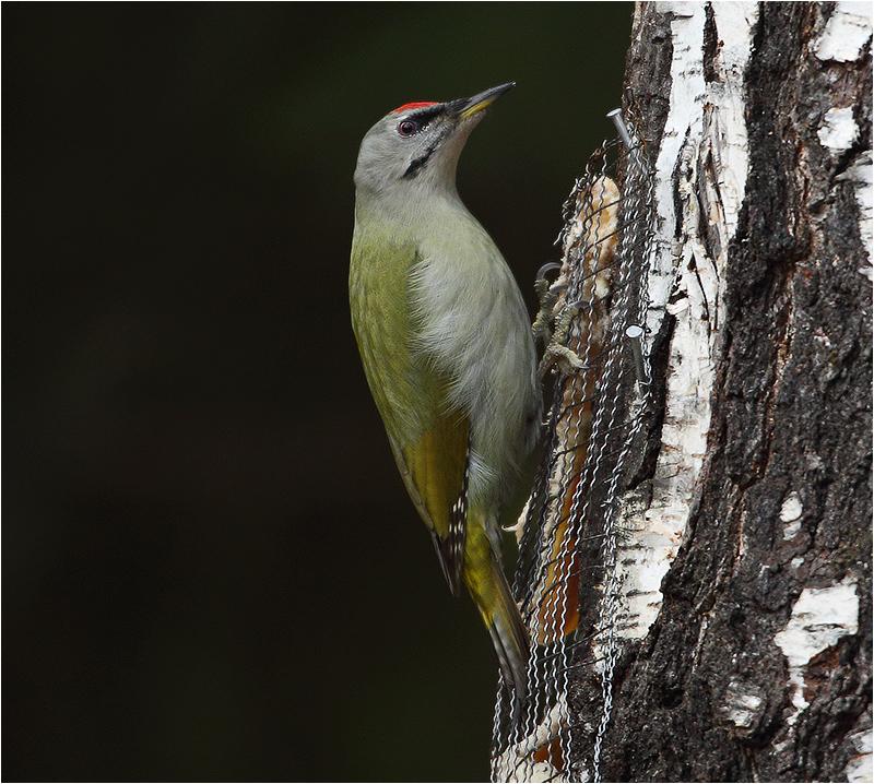 Gråspett (Grey-headed Woodpecker), Mossbodarna, Borlänge