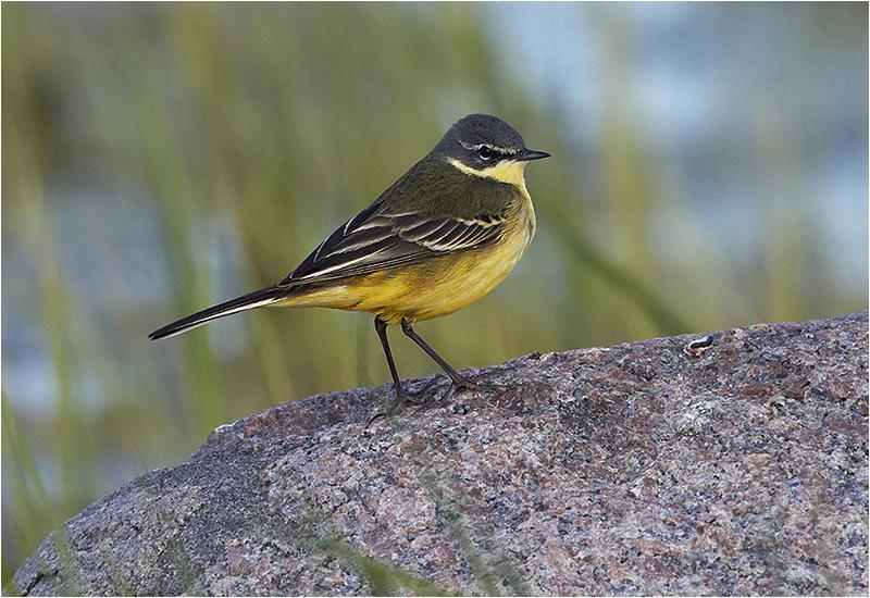 Gulärla (Yellow Wagtail), Ölands Södra Udde, Öland