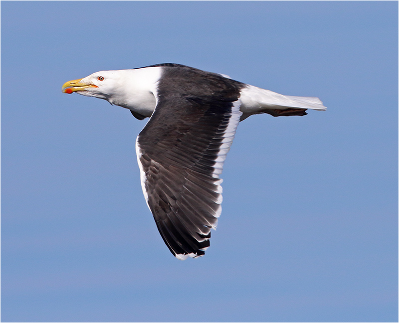 Havstrut (Great Black-backed Gull), Glommens Sten, Halland
