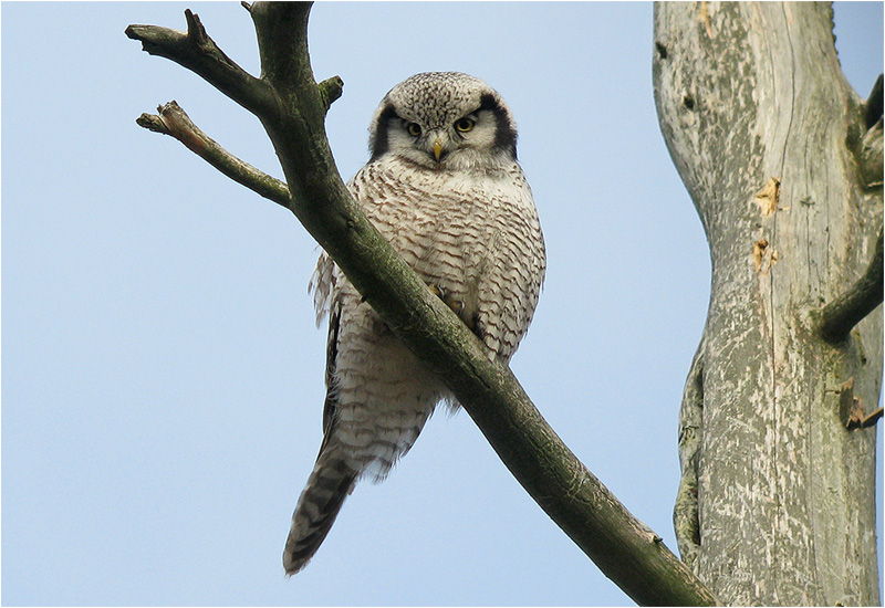 Hökuggla (Northern Hawk Owl), Valinge, Halland