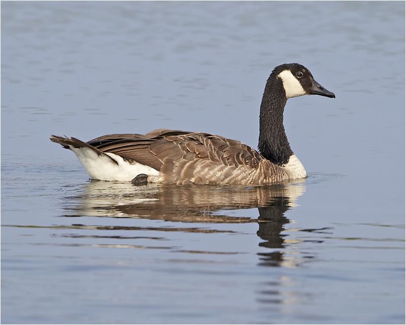 Kanadagås (Canada Goose), Stora Amundö, söder om Göteborg