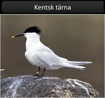 Kentsk tärna vid Stora Amundö