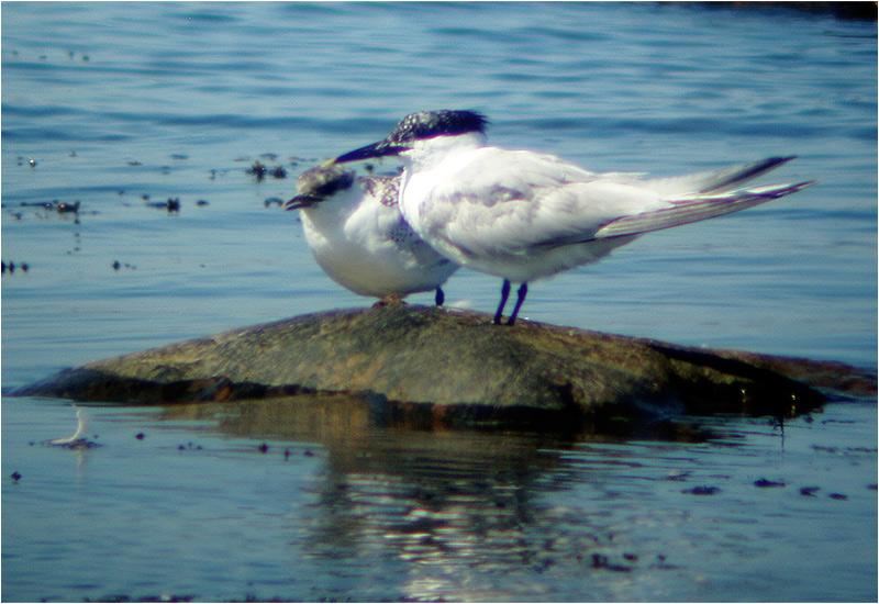 Kentsk tärna (Sandwich Tern), Vilshärad, Halland