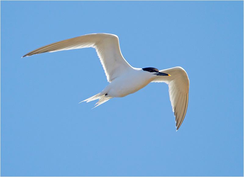 Kentsk tärna (Sandwich Tern), Glommens sten, Halland