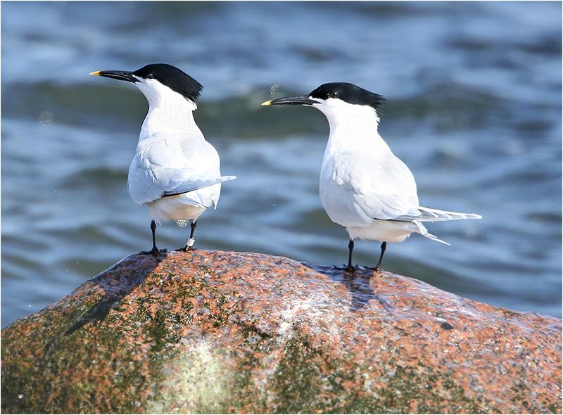 Kentsk tärna (Sandwich Tern), Simrishamn hamn, Skåne