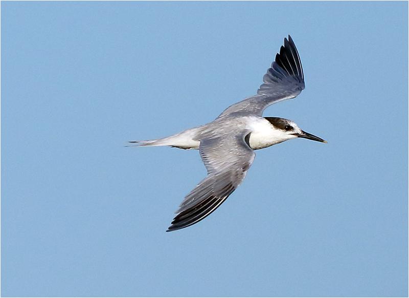 Kentsk tärna (Sandwich Tern), Sebybadet, Öland