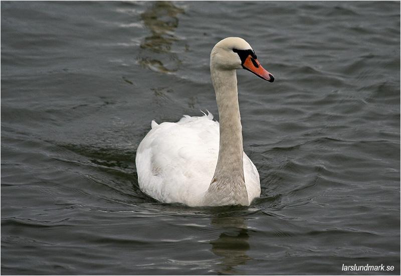 Knölsvan (Mute Swan), Stora Amundön, Göteborg
