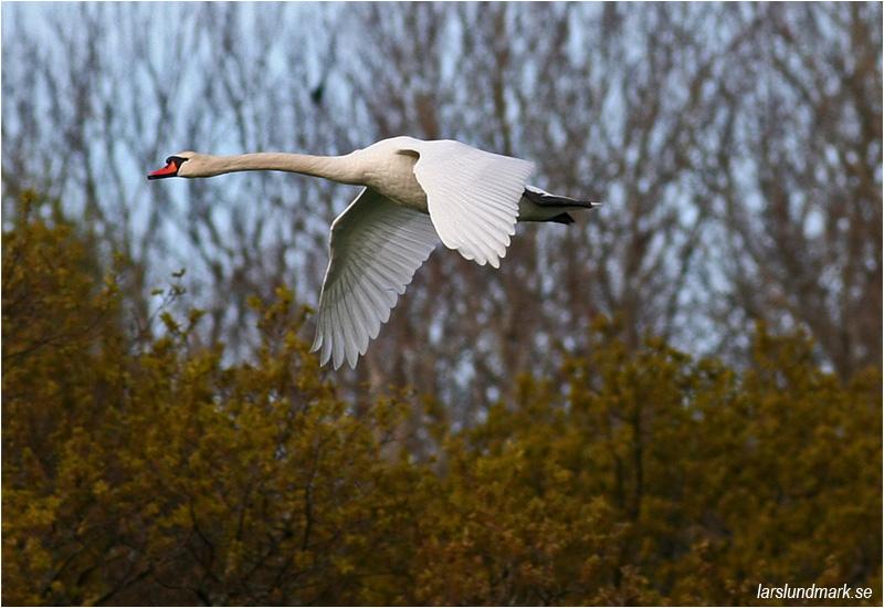 Knölsvan (Mute Swan) vid Stora Amundö söder om Göteborg