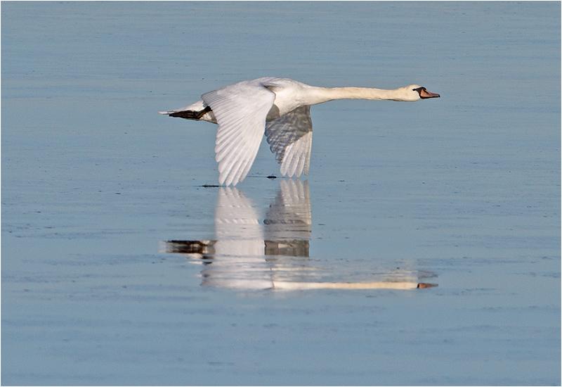 Knölsvan (Mute Swan), Killingholmen