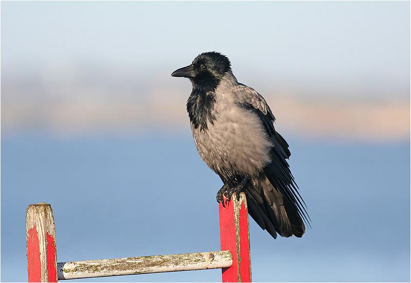 Kråka (Crow), Stora Amundö, söder om Göteborg