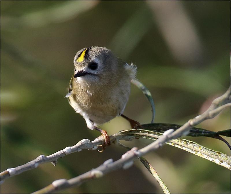 Kungsfågel (Goldcrest), Sebybadet, Öland