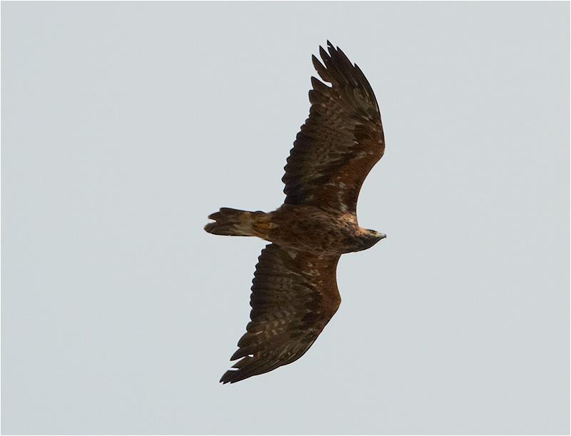 Kungsörn (Golden Eagle), Näsbyholm, Skåne
