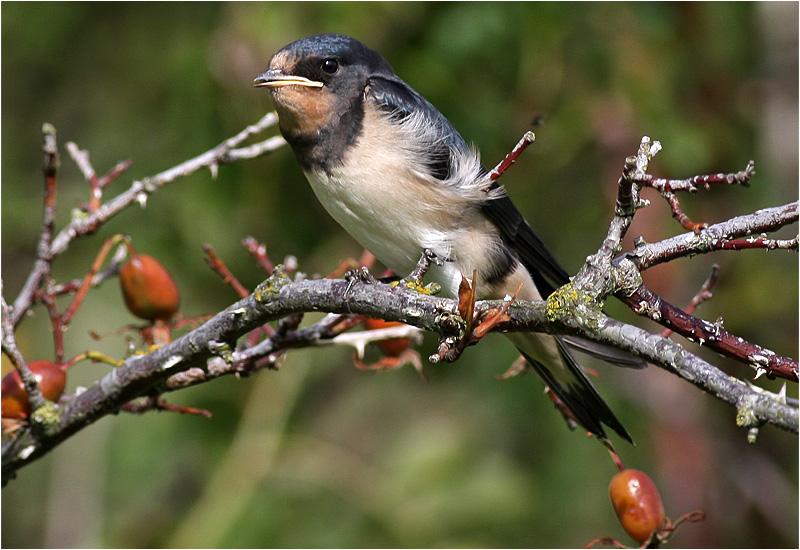 Ladusvala (Barn Swallow), Stora Amundö, söder om Göteborg