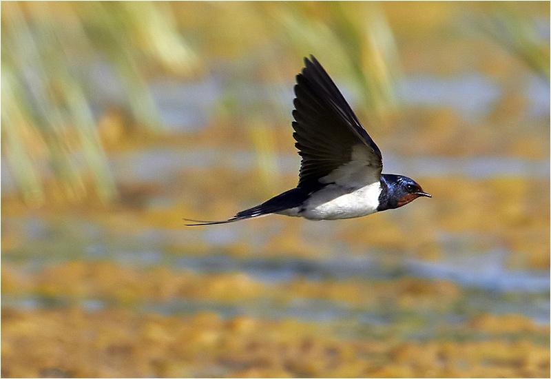 Ladusvala (Barn Swallow), Ölands Södra Udde, Öland