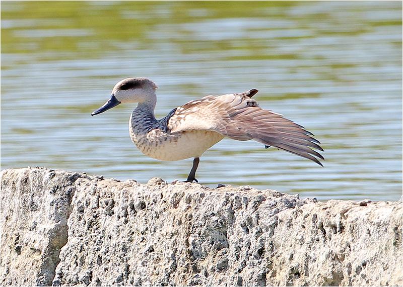 Marmorand (Marbled Duck), S'Albufera Natural Park, Mallorca