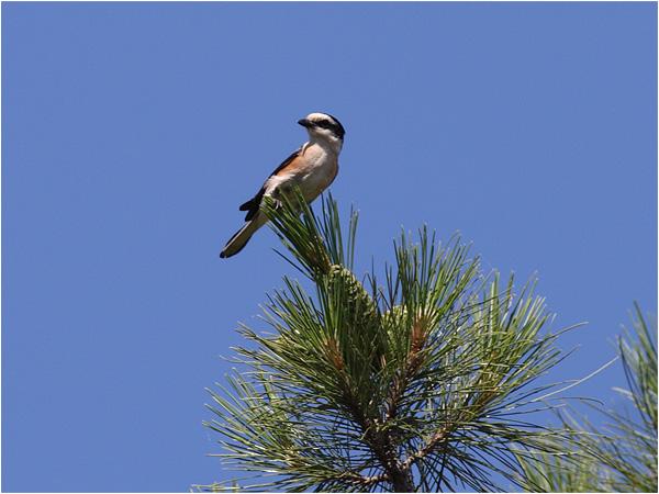 Masktörnskta (Masked Shrike), norr om Achladeri, Lesbos, Grekland