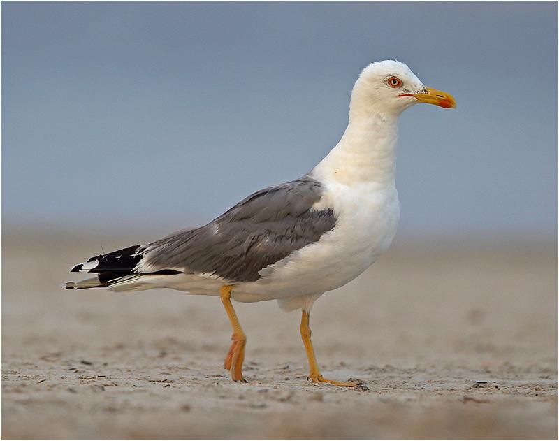 Medelhavstrut (Yellow-legged Gull), Port de Alcudia, Mallorca