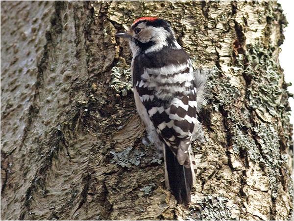 Mindre hackspett (Lesser Spotted Woodpecker), Stora Amundö, söder om Göteborg