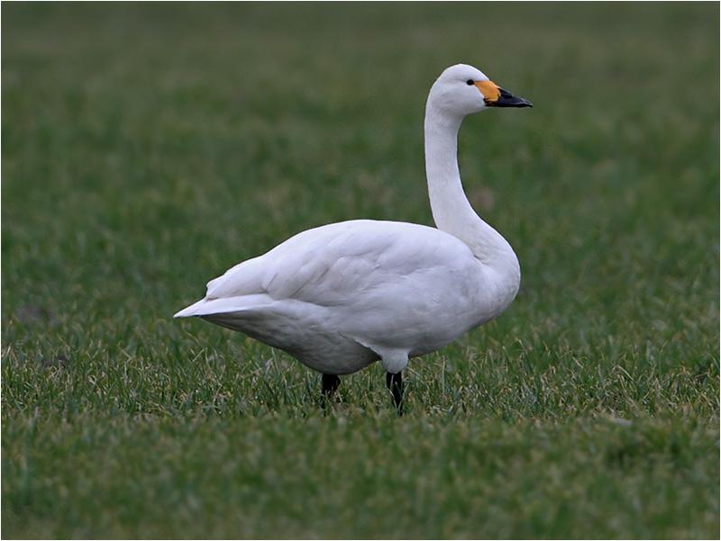 Mindre sångsvan (Tundra Swan), Tjolöholms Gård, Kungsbacka, Halland