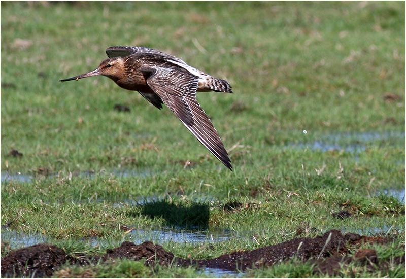 Myrspov (Bar-tailed Godwit), Morups Tånge, Halland