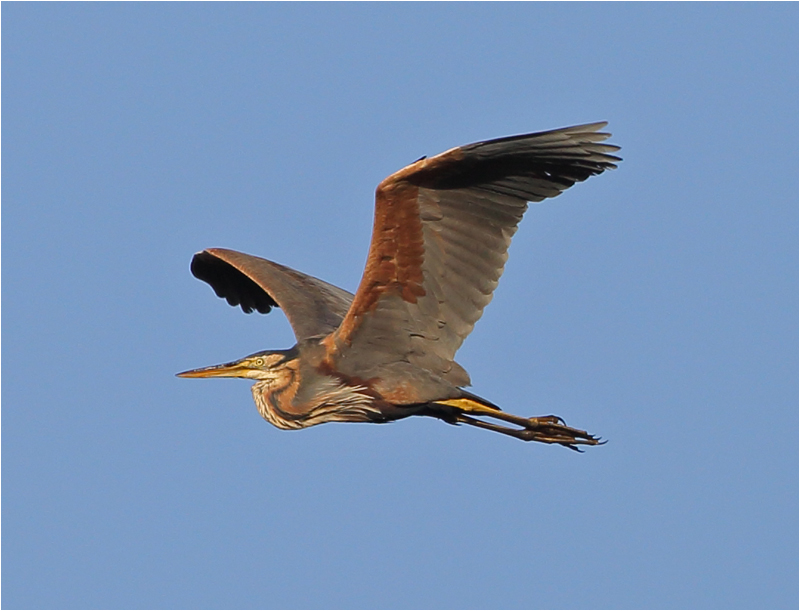 Purpurhäger (Purple Heron), S'Albufera Natural Park, Mallorca
