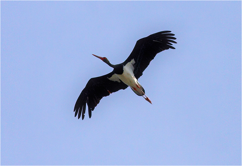 Svart stork (Black Stork) vid Falsterbo Kanal i Skåne