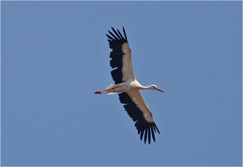 Vit stork (White Stork), Petra, Lesbos, Grekland