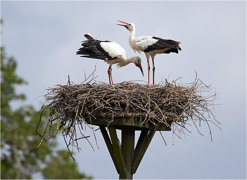 Vit stork (White Stork), Flyinge Kungsgård, Skåne