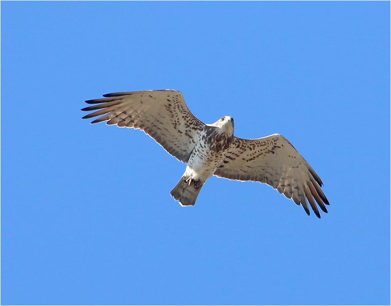 Ormörn (Short-toed Eagle), Möckelmossen, Öland