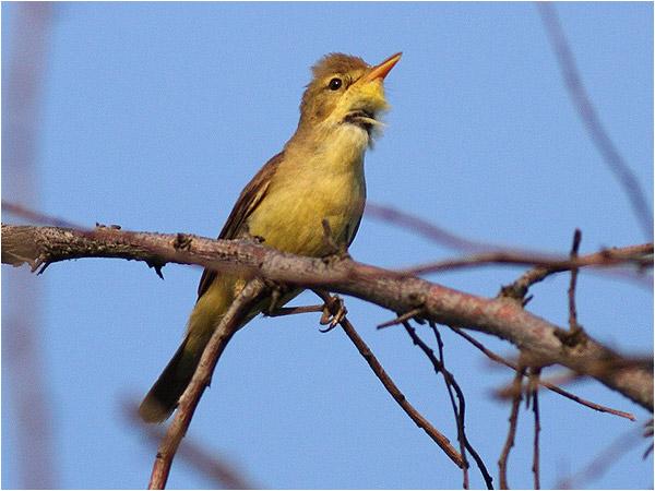 Polyglottsångare (Melodious Warbler), Punta di Sabbioni, Italien