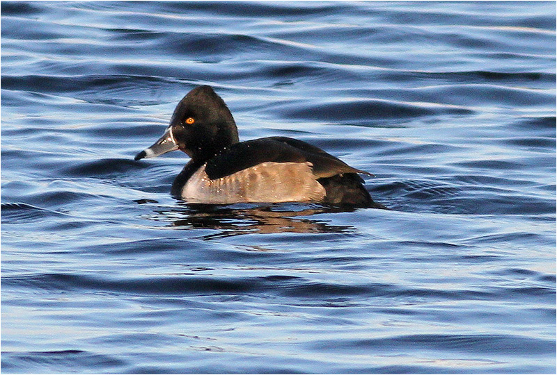 Ringand (Ring-necked Duck), Säveåns mynning, Göteborg