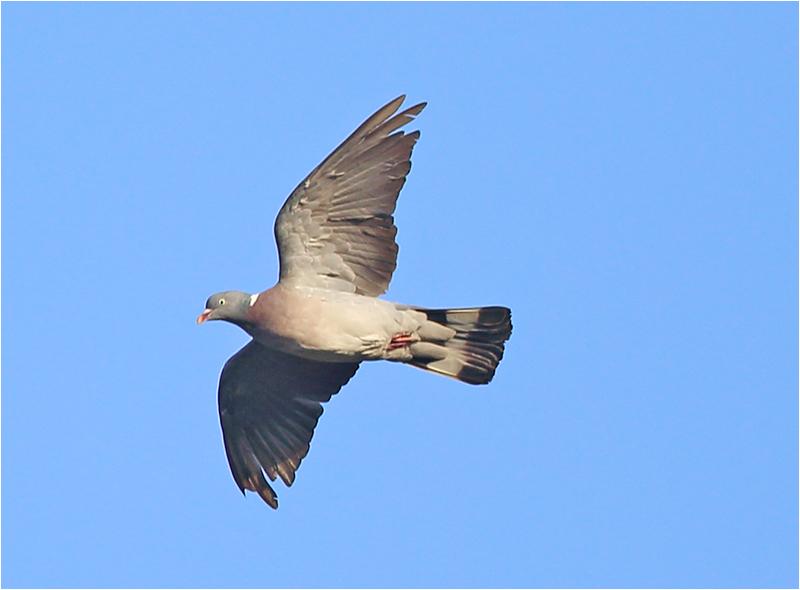 Ringduva (Wood Pigeon), Stora Amundö, söder om Göteborg