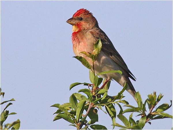Rosenfink (Common Rosefinch), Haga Kile, söder om Göteborg