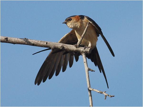 Rostgumpsvala (Red-rumped Swallow), Petra, Lesbos, Grekland